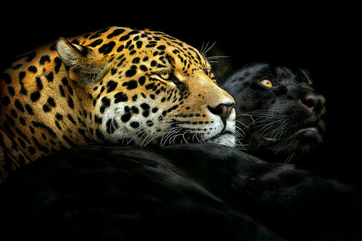 Photo EBONY AND IVORY - PEDRO JARQUE