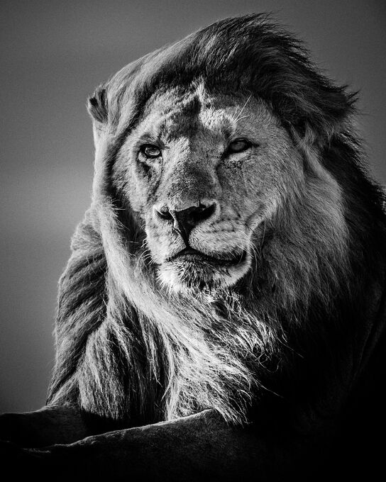 Photo Lion in the Wind V - Laurent Baheux