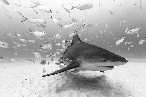 BULL SHARK AT PLAYA