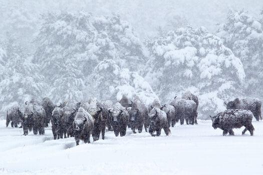 Photo Bisons d'Europe dans la tourmente de neige - Eric Travers