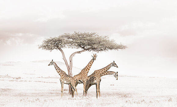 Photo GATHERING GIRAFFES - Klaus Tiedge