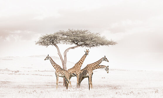 Photo GATHERING GIRAFFES - Klaus Tiedge