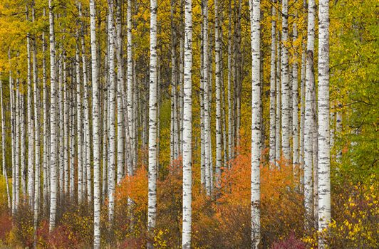 Photo ASPEN GROVE IN AUTUMN -  John Eastcott et Yva Momatiuk