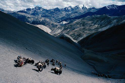 Caravane de yaks de retour au pays