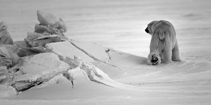 Photo OURS BLANC EN SON ROYAUME I - Laurent Baheux
