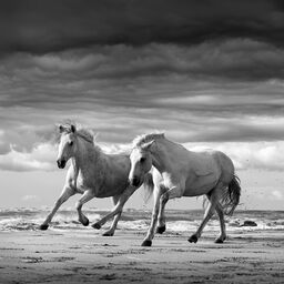 Two stallions playing
