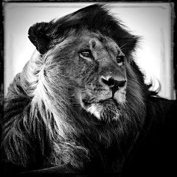 Photo Lion in the Wind - Laurent Baheux