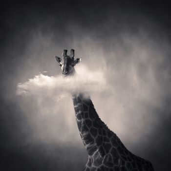 Photo Girafe - Denis Olivier