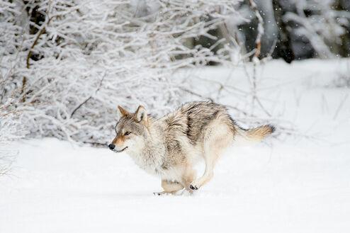 La course du loup dans la neige