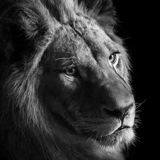 Photo YOUNG LION II - Lukas Holas
