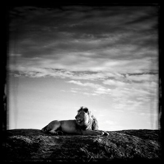 Photo Lion sur son rocher - Laurent Baheux