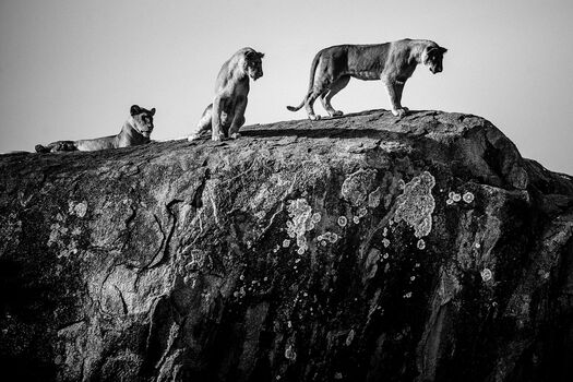 Photo Meeting of lions on the big rock, Tanzania 2015 - Laurent Baheux