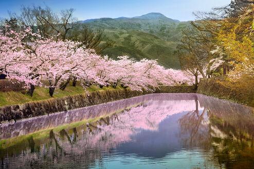 Mirroring sakura