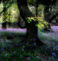 Photo Bluebell Wood -  DAVE