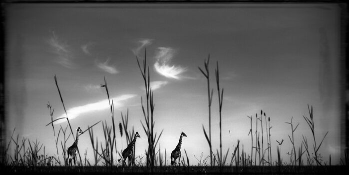 Photo Girafes in the Grass - Laurent Baheux