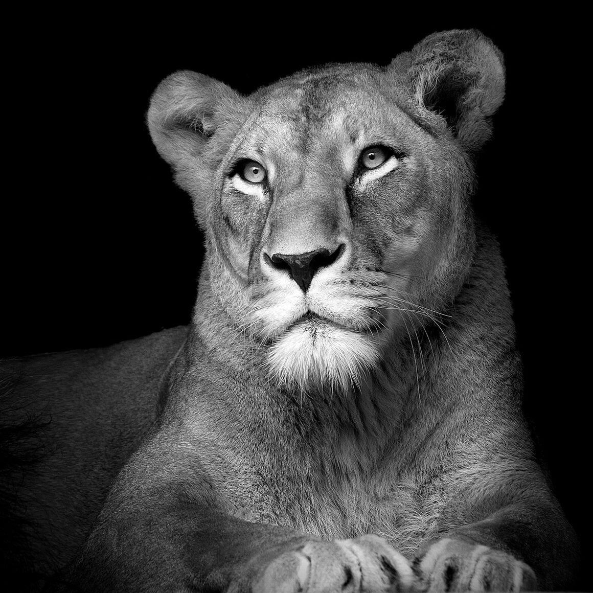 photograph the lioness lukas holas yellowkorner