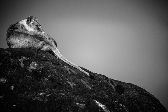 Photo LIONESS ON A ROCK, TANZANIA 2015 - Laurent Baheux