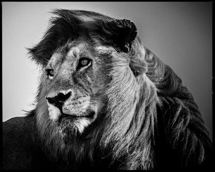 Photo Lion in the Wind 2 - Laurent Baheux