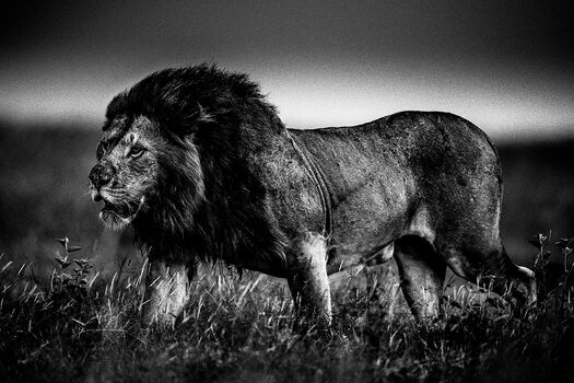 Photo THE SOFT POWER OF THE LION - Laurent Baheux