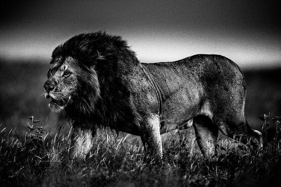 Photo THE SOFT POWER OF THE LION - Laurent Baheux