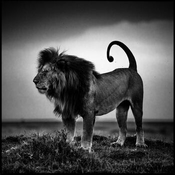 Photo Lion Before Storm - Laurent Baheux