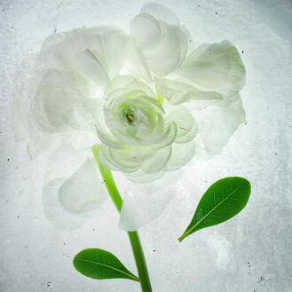 White rose x-ray