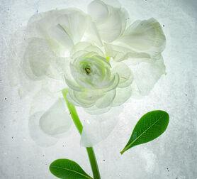Photo White rose x-ray - Mina Teslaru