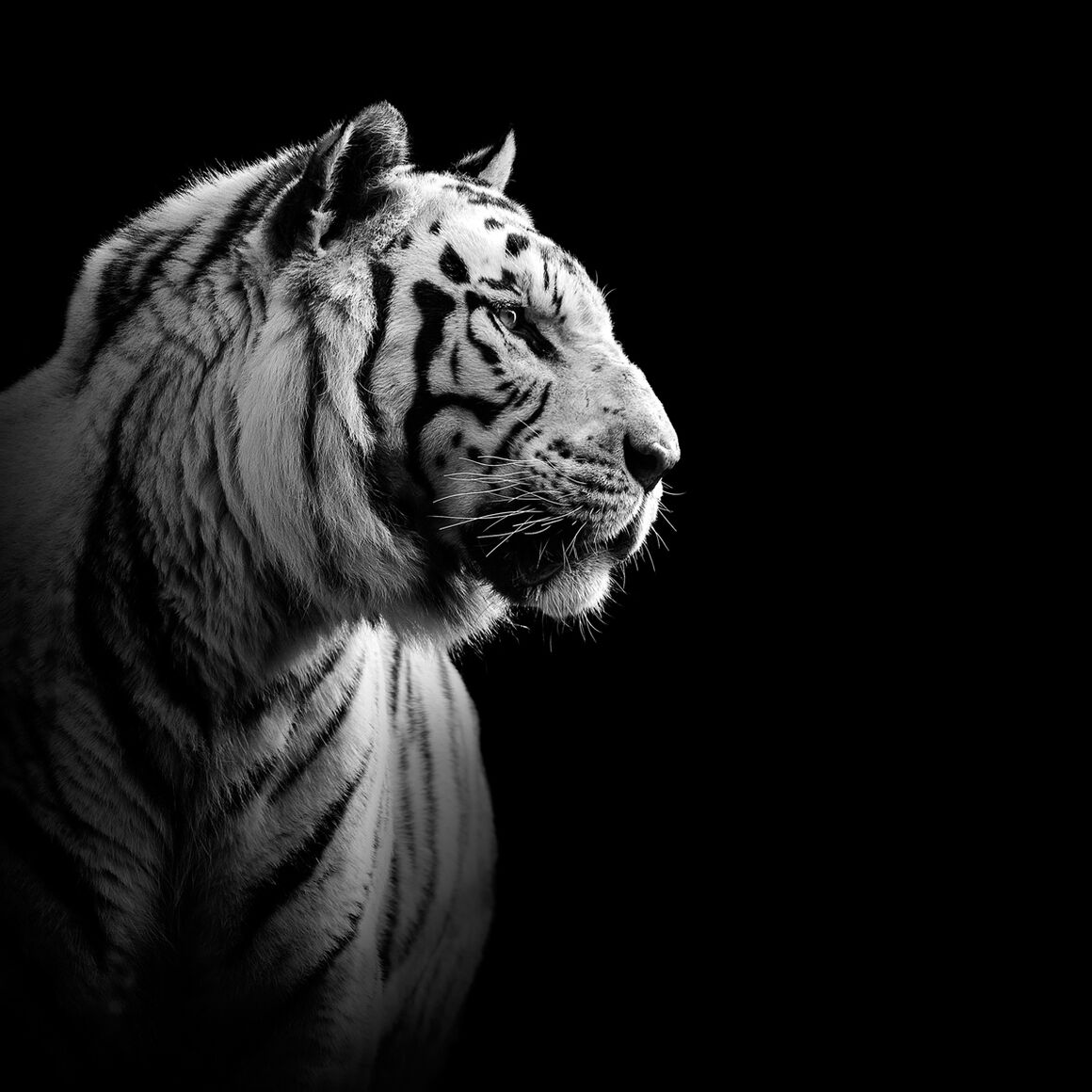 Photograph the white tiger lukas holas · yellowkorner