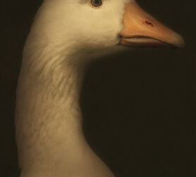 Photo Pilgrim Goose II - Cally Whitham